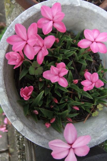 アッツ桜 ピンク色