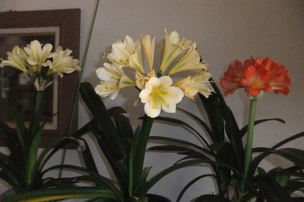 君子蘭の赤色と黄色