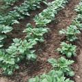 家庭菜園のじゃが芋