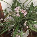 シンビジュームの花