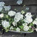 オルレアの花 1