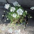 オルレアの花 2