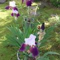 ジャーマンアイリスの花が開花