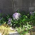シラーの花が塀の傍で咲いている