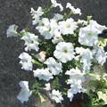 白いペチュニアの花