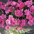 赤いペチュニアの花
