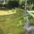 Photos: 庭の苔