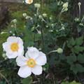 Photos: 秋明菊の花が開花