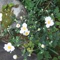 Photos: 秋明菊の花が咲き出しました