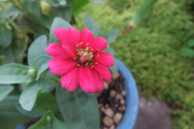 Photos: 鉢植えのジニア2