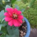 鉢植えのジニア2
