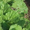 白菜に蝶が