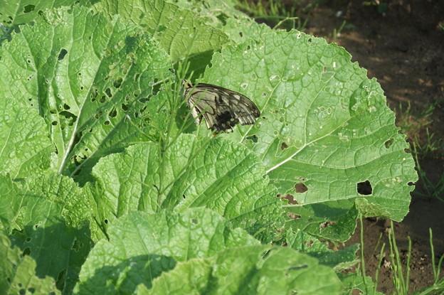 Photos: 白菜に蝶が 2
