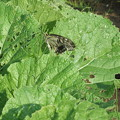 白菜に蝶が 2