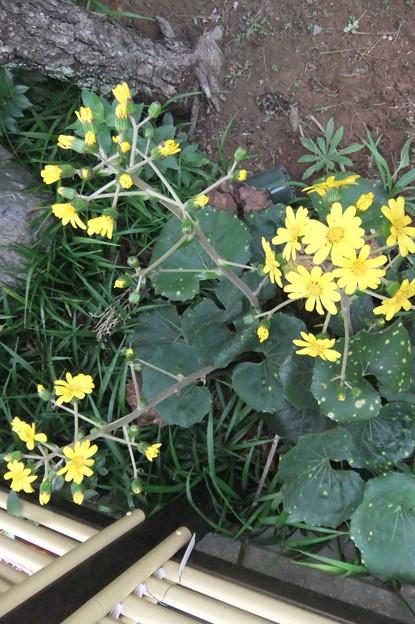 石蕗の花が咲きました 2