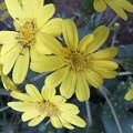 石蕗の花がさきました 3