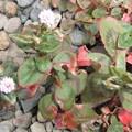 ヒメツルソバの花 1