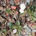 ヒメツルソバの花 2