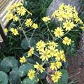 石蕗花が広がって咲いています