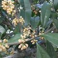 金木犀の花 2