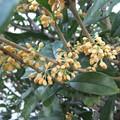 金木犀の花 3
