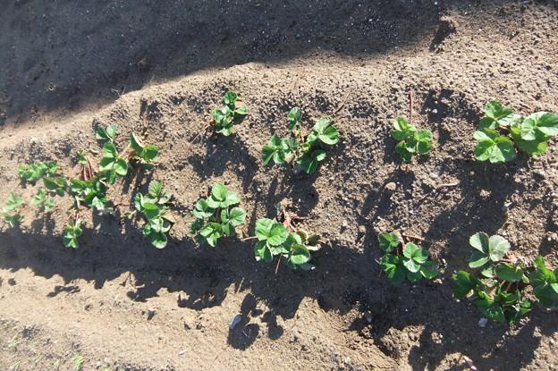 苺の苗の植え替え