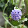 Photos: チコリの花