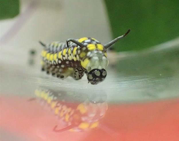 アサギマダラ 幼虫 3齢幼虫 P3163287 (2)