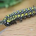 Photos: アサギマダラ 幼虫 3齢幼虫 P3163319 (2)