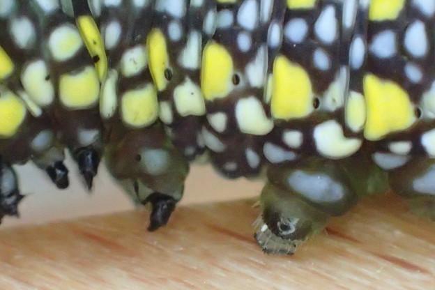 アサギマダラ 幼虫の胸肢と腹肢 3齢幼虫 P3163339