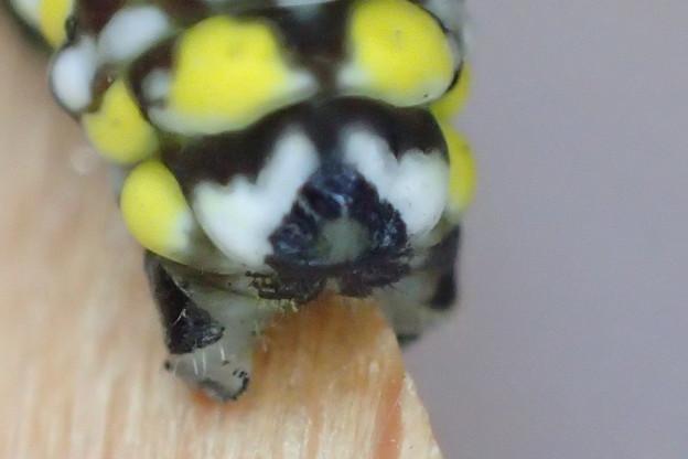 アサギマダラ 幼虫のお尻 3齢幼虫 P3163343