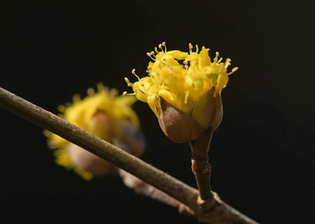山茱萸の花