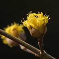 Photos: 山茱萸の花