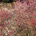 梅花咲き競う
