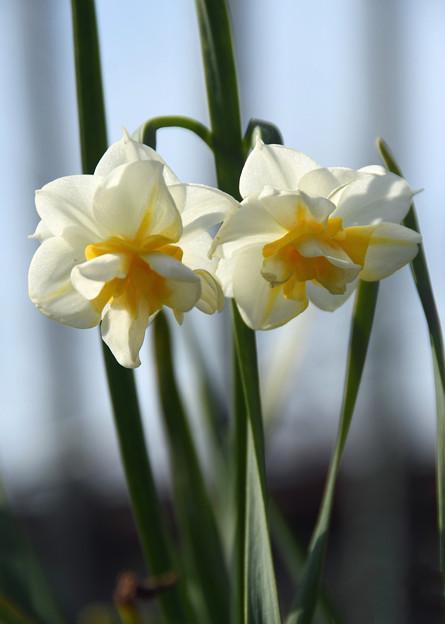 房咲き水仙2