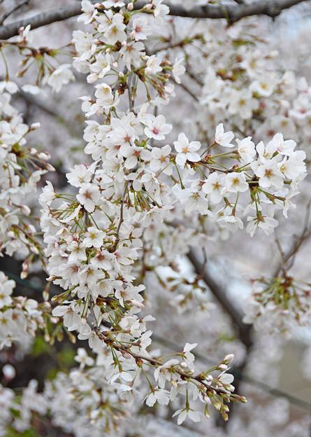 桜花爛漫1