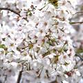 桜花爛漫2