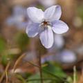 白花立坪菫1(シロバナタチツボスミレ)