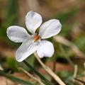 白花立坪菫2(シロバナタチツボスミレ)