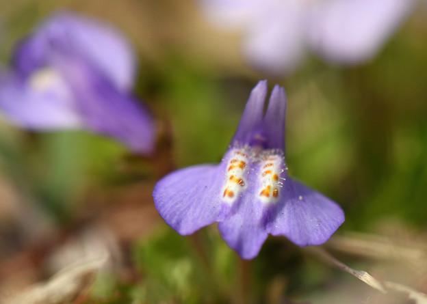紫鷺苔1(ムラサキサギゴケ)