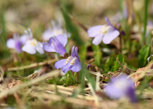 紫鷺苔2(ムラサキサギゴケ)
