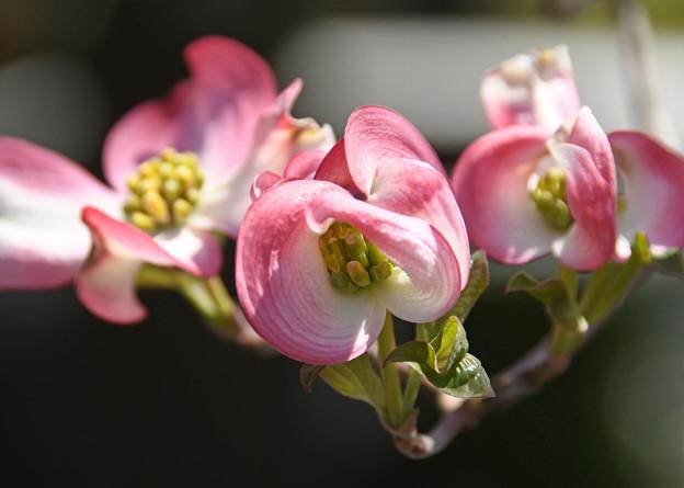 花水木賑わい
