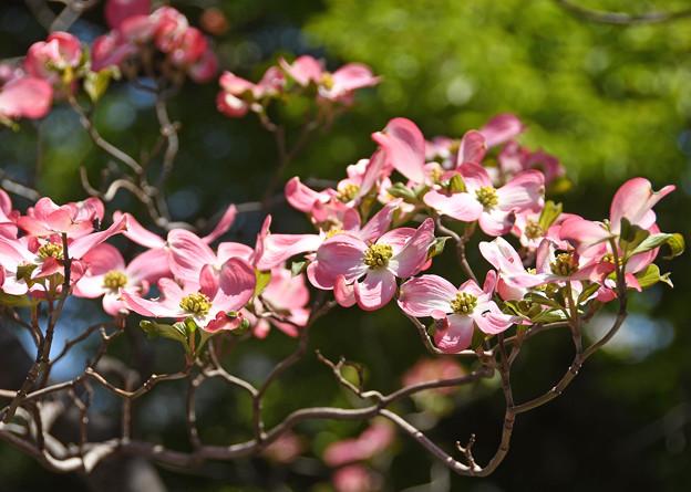 花水木賑やかに