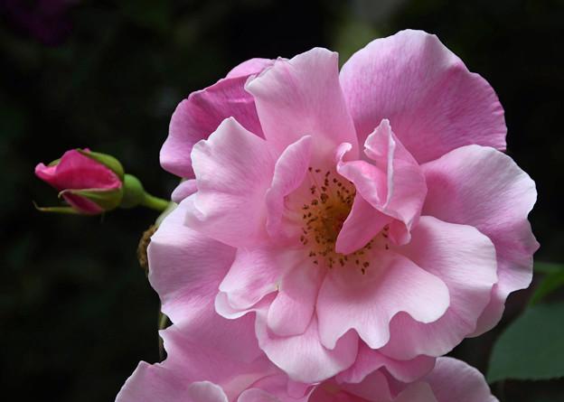 つる薔薇2