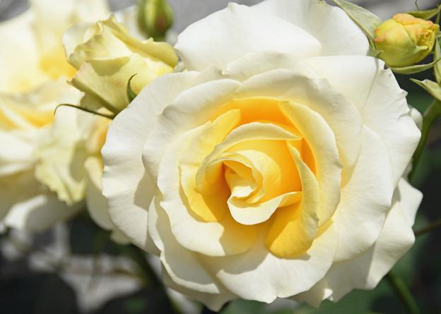 薔薇香る(ばらかおる)