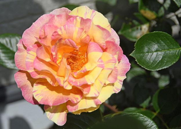 薔薇(そうび)