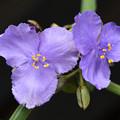 Photos: 紫露草2