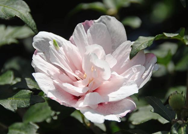 八重咲の白木槿