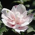 Photos: 八重咲の白木槿