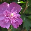 八重咲きのピンク木槿